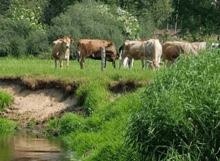 koeien grazen lekker in de dinkelwei